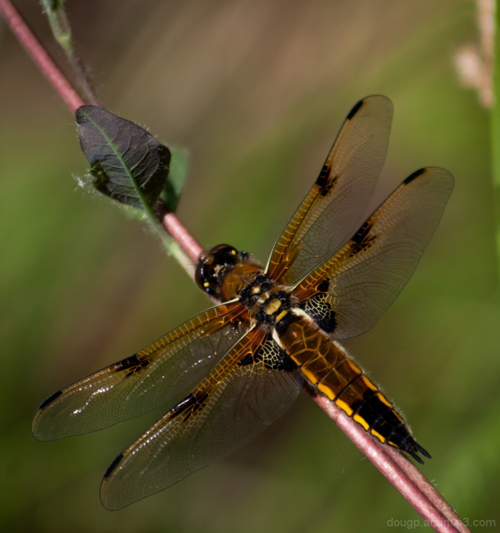 Four Spotted Chaser 2 of 2