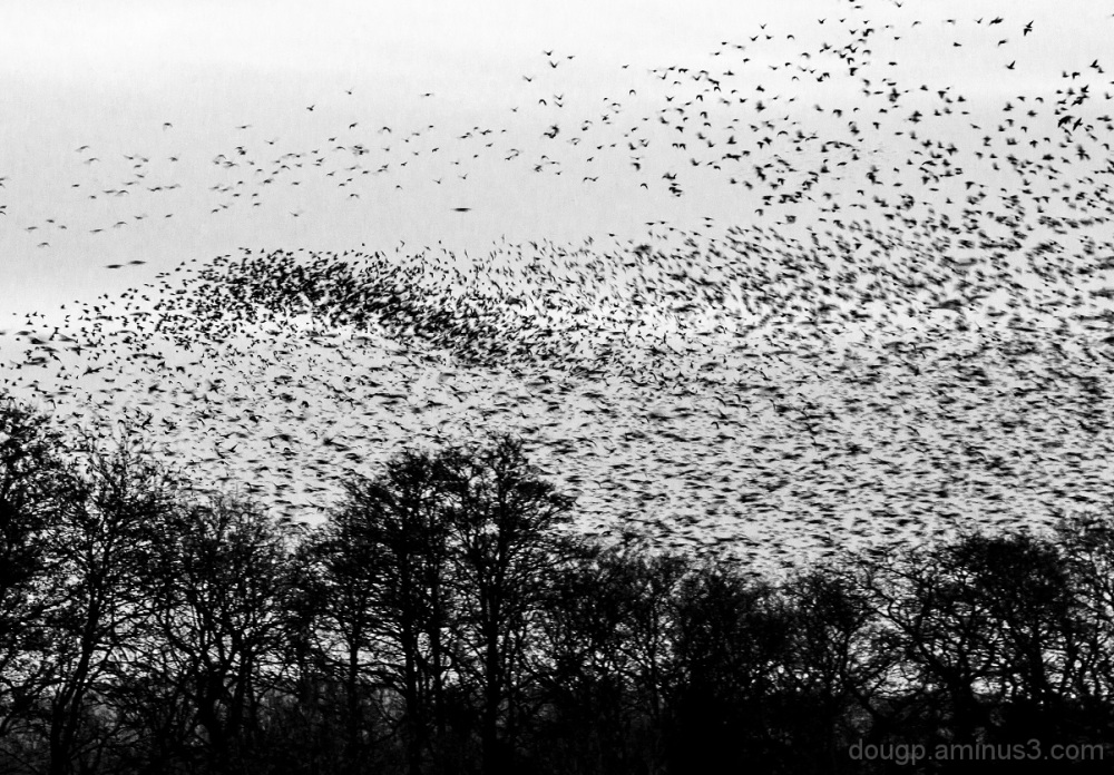Murmeration 7 the swarm