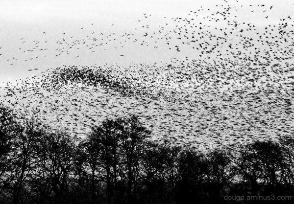 Murmeration 7 the swarm