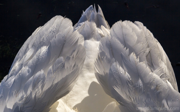 Swan or an angel's wings