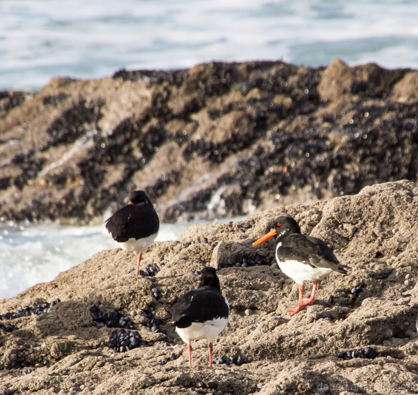 A trio of Oystercatcher's