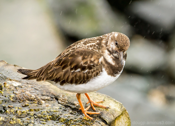 Turnstone in the rain