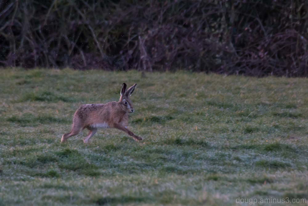 ST March Hare