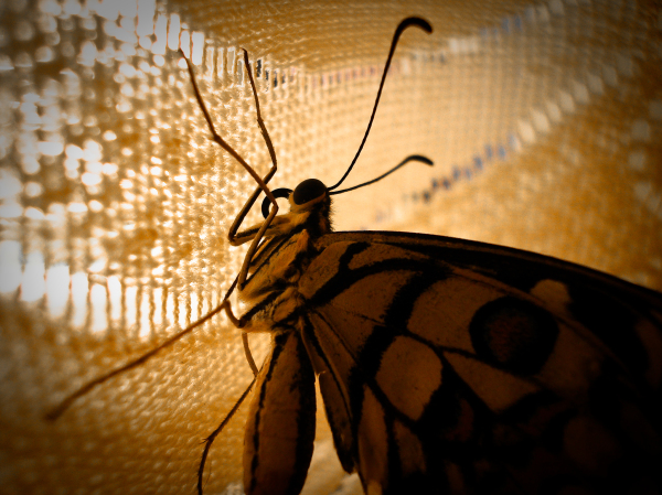 Butterfly on a curtain
