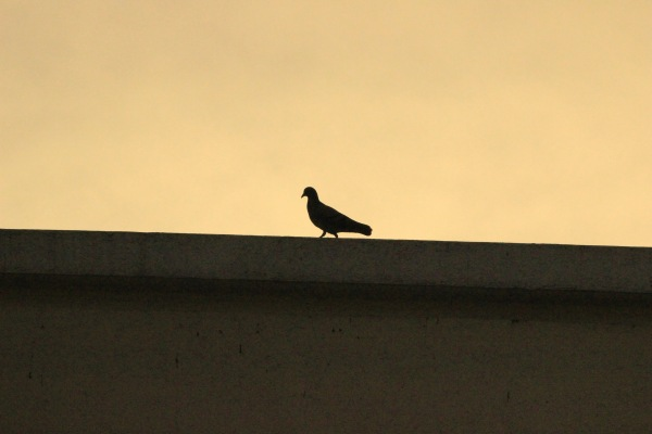 Silhouette of a Pigeon at Sun Rise