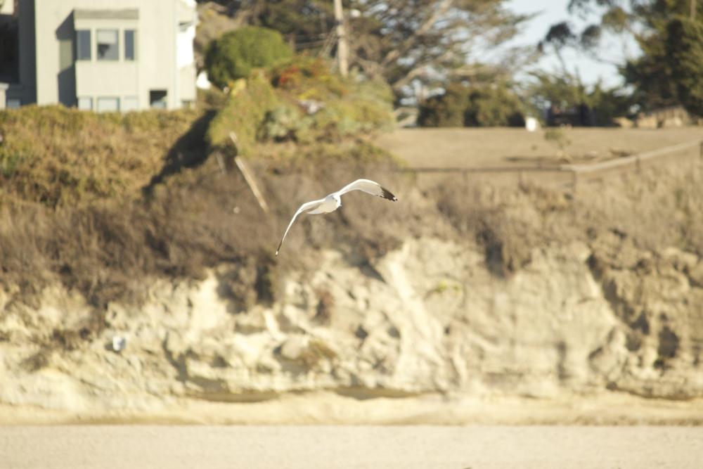 Seagull in Santa Cruz