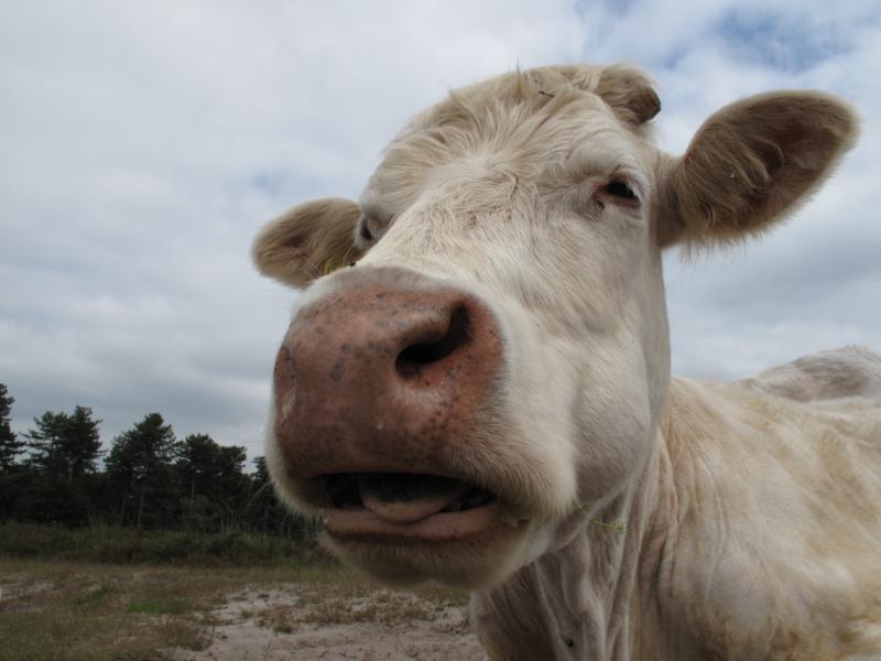 kampina cow