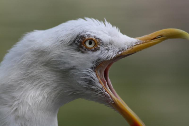 chips gull