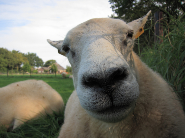 same sheep