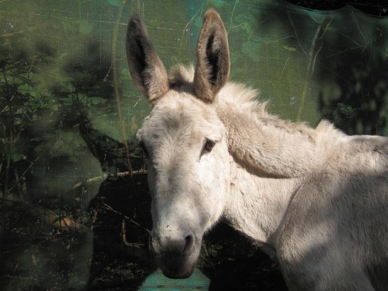 donkey society