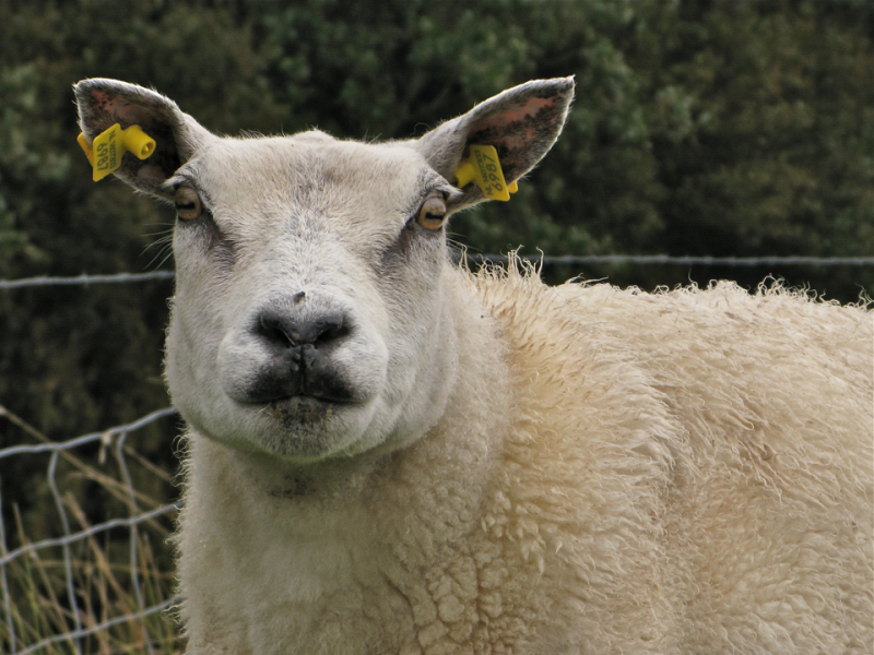 sheep lips