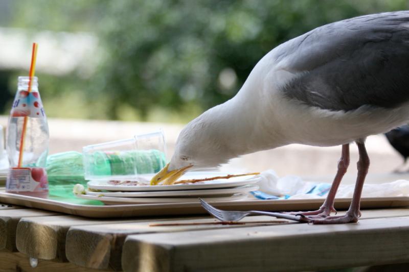 chips gull (2)