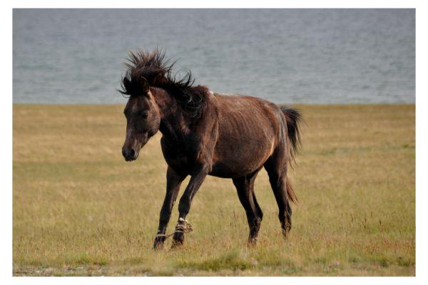 Hobbled horse at Song Kul Kyrgyzstan