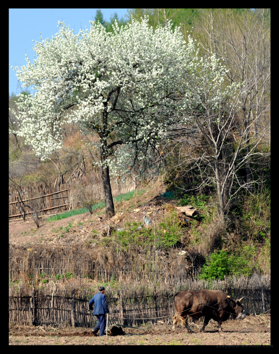 Bullock Plough China