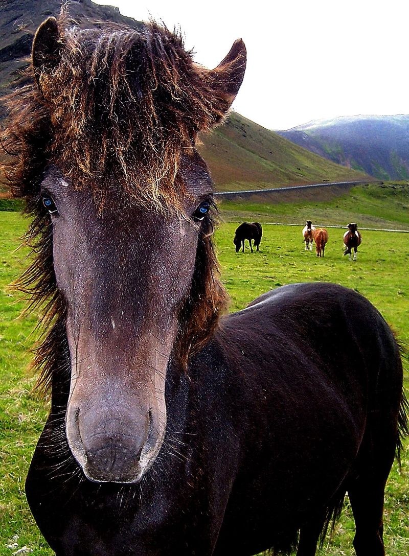 More Iceland Horses
