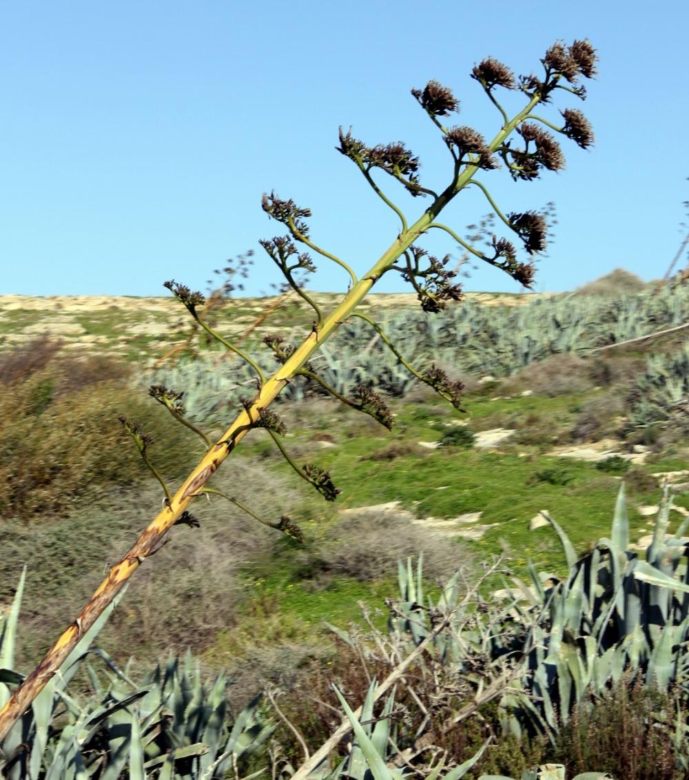 Strange unknown plant in Gozo, Malta
