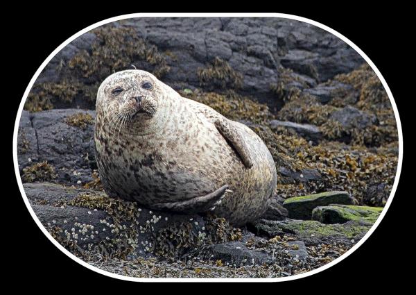 Seals off the Isle of Skye Scotland