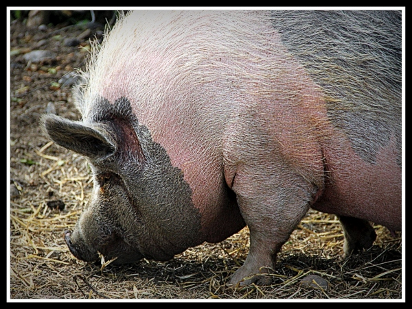 Pig, Scotland