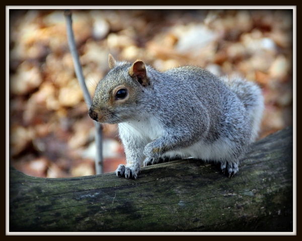 Central Park Squirrel, New York