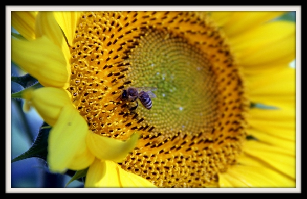 Sunflowers and the Bees