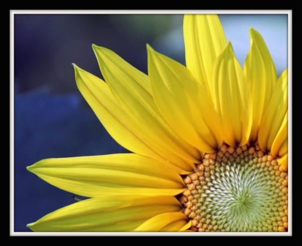 Late Season Sun Flowers