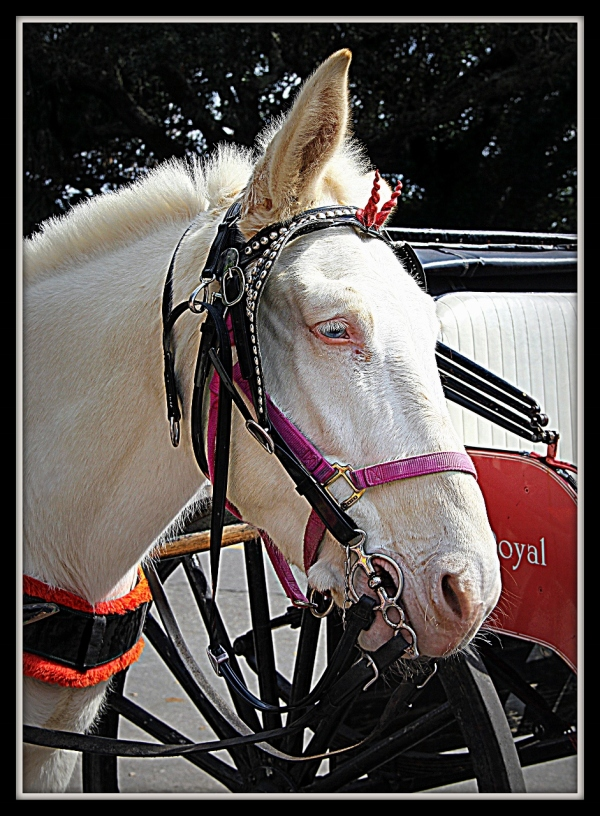 Carriage Horse New Orleans