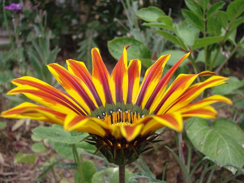 Azalia Flower