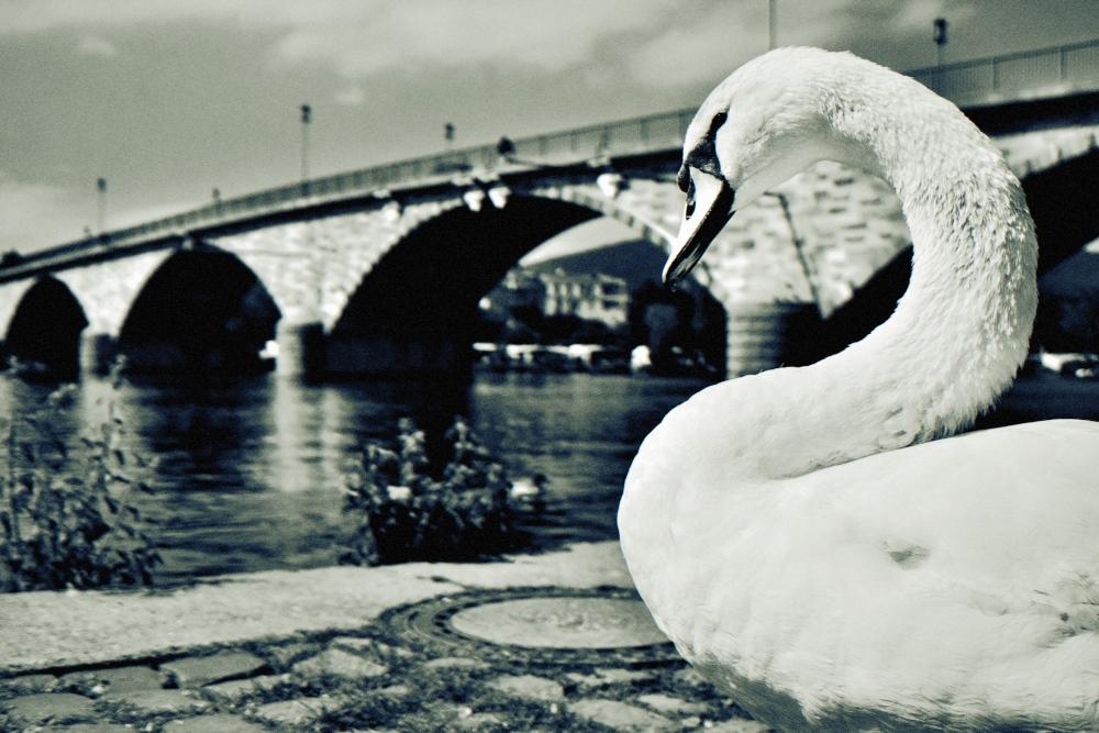 swan scenes (3of3): longing