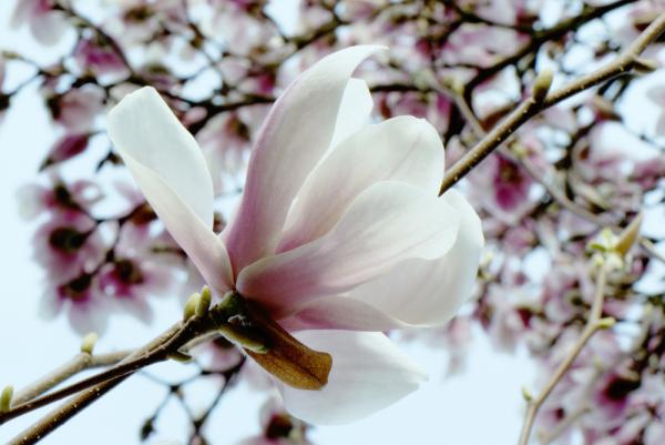 magnolia ii