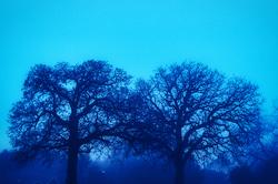 Early Winter Morning Oak Trees