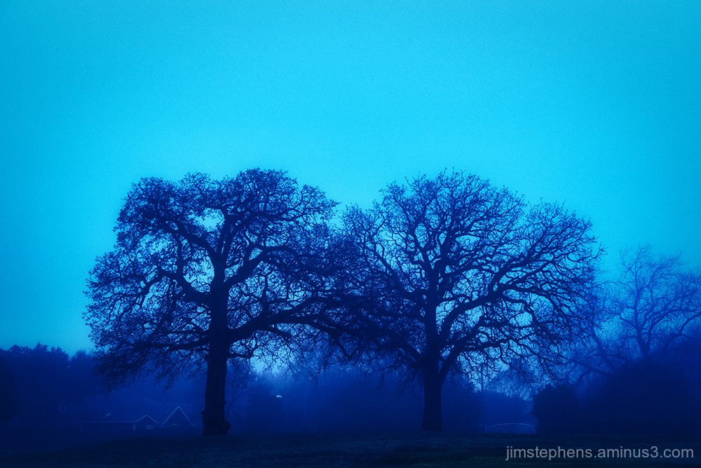 Oak Trees in the Morning Fog