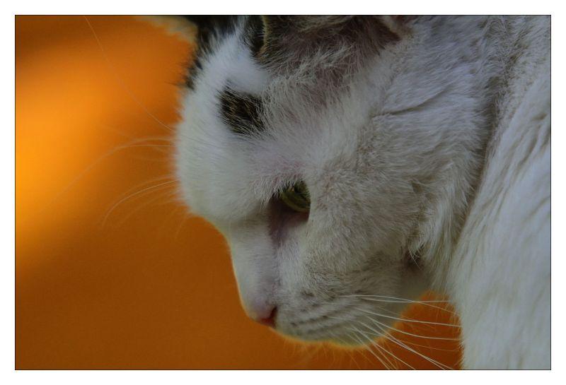 Chat, portrait