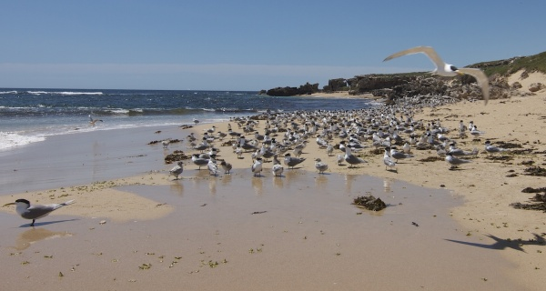 Penguin Island, Western Australia