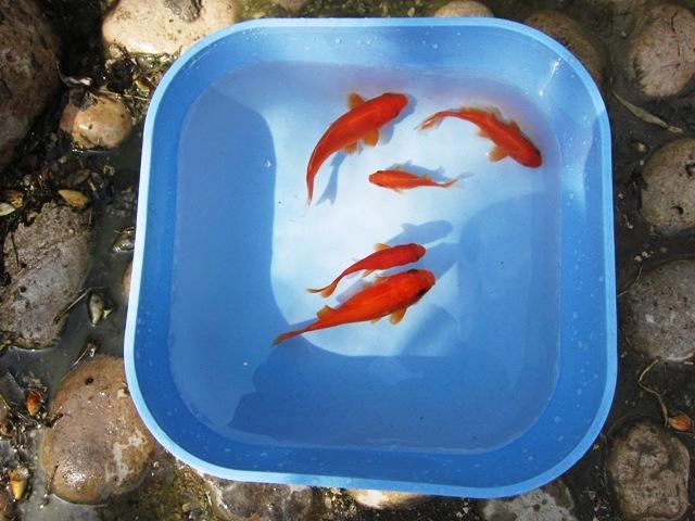 ماهی گلی - fish