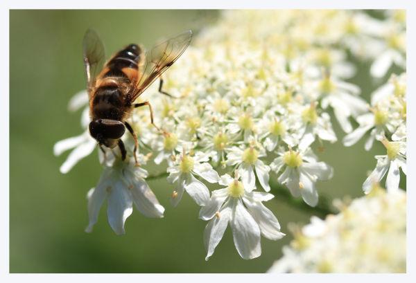 bee fly flower