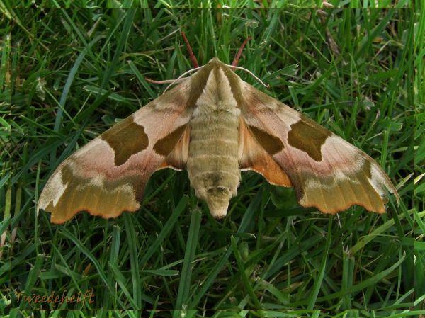 Lime hawk moth