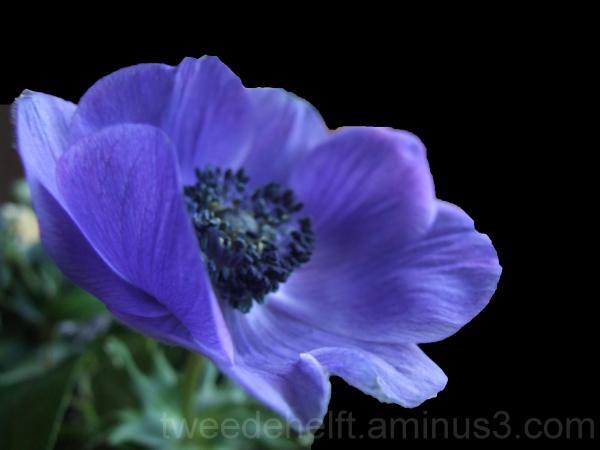 anemoon, bloemen, favoriet