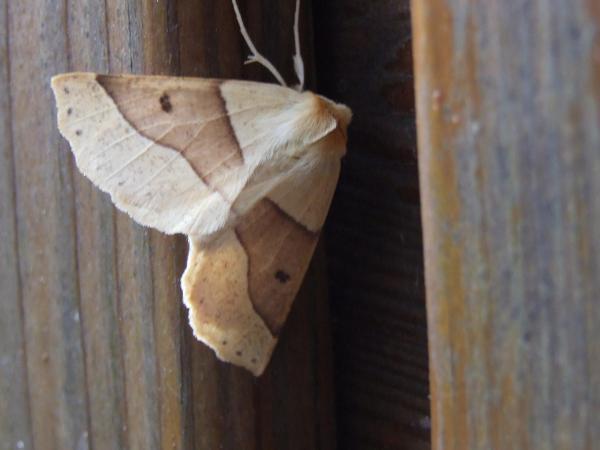 kortzuiger vlinder