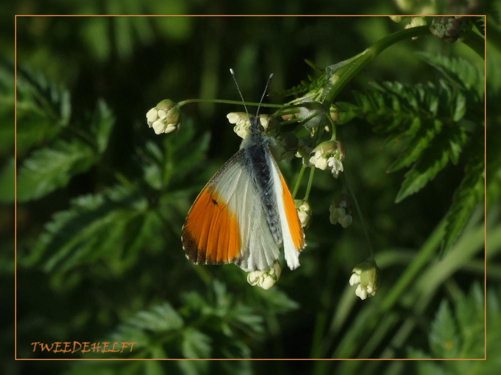 oranjetipje