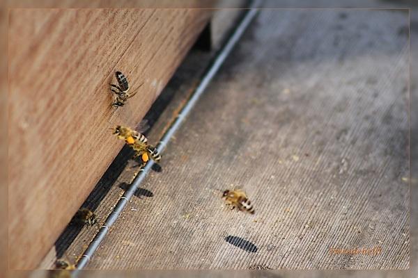 bijen bij de kast met oranje stuifmeel