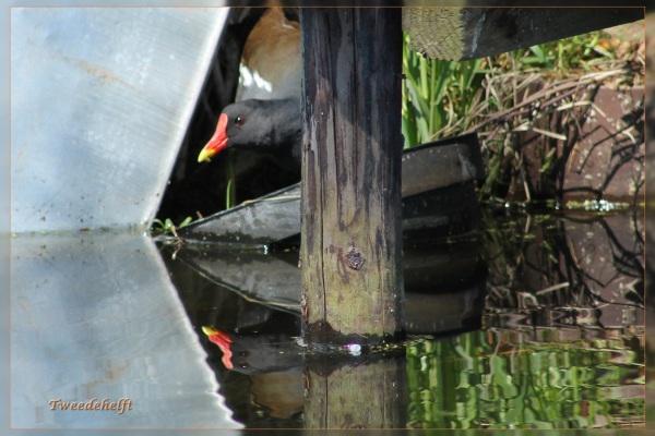 waterhoen verstoppertje