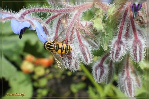 zweefvlieg borage tuin