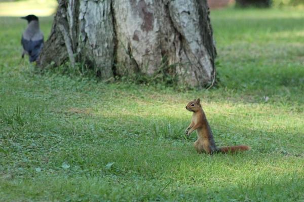 Eekhoorn en kraai