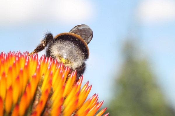 hommel op eigen gekweekte echinacea
