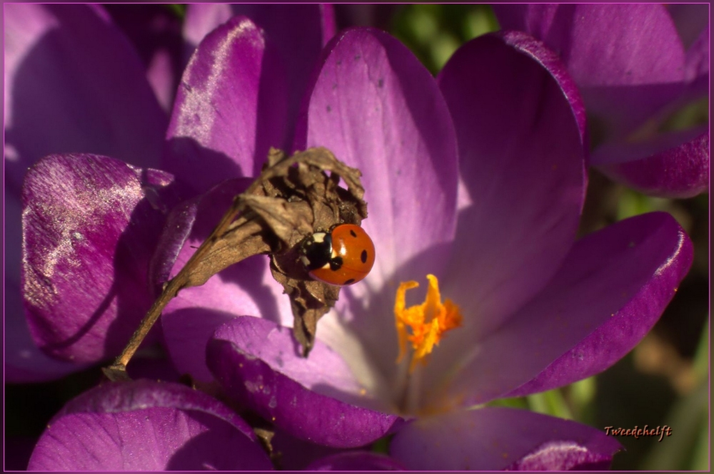 lieveheersbeestje op krokus