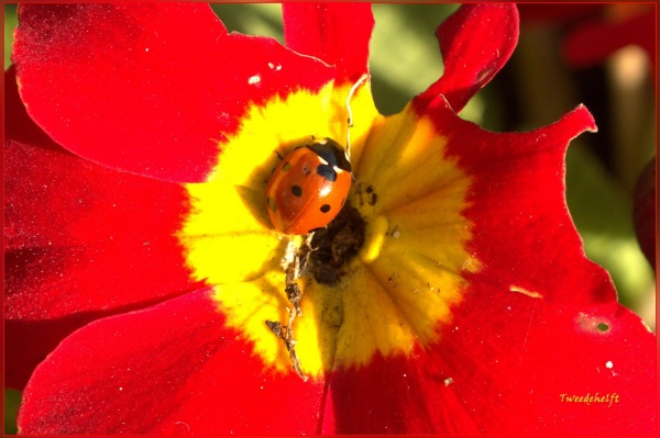 lieveheersbeestje op primula