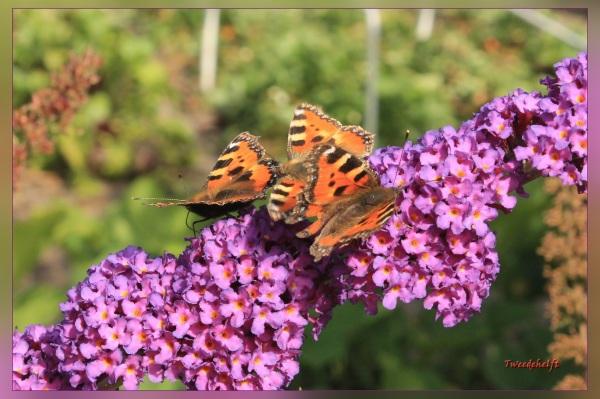 vlinders tellen