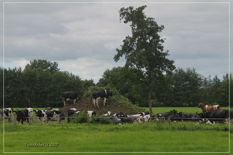 koeien op een heuveltje