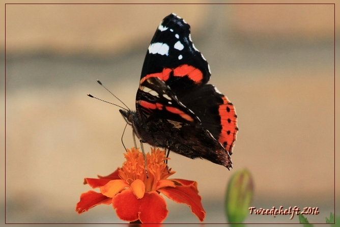 Vlinder op afrikaantje