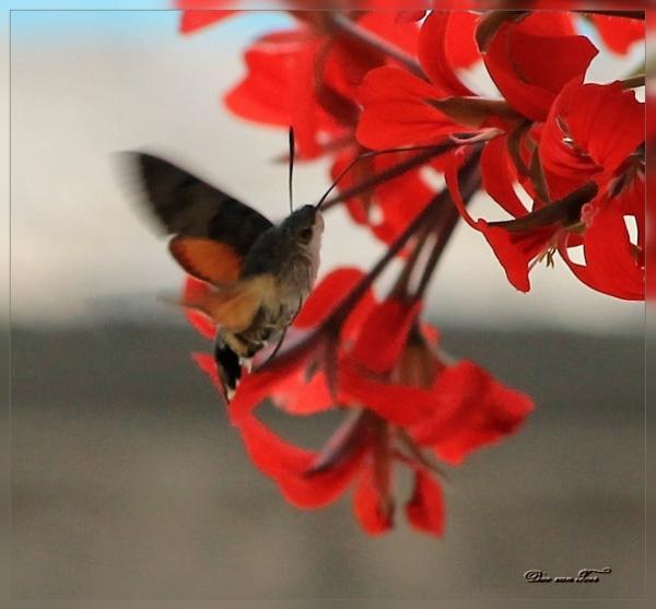 een hebbeding...kolibri vlinder